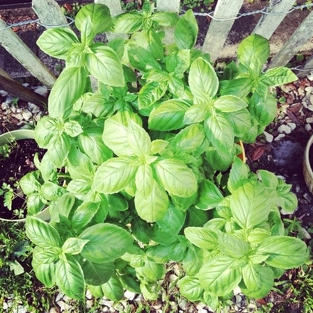 Basil Plant from thelittlekitchen.net