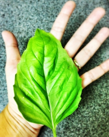 Giant Basil Leaf