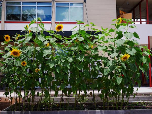 sunflowers-the-litte-kitchen