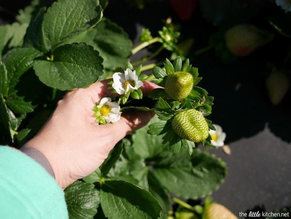 strawberry-farm-tour-the-little-kitchen-P1040916